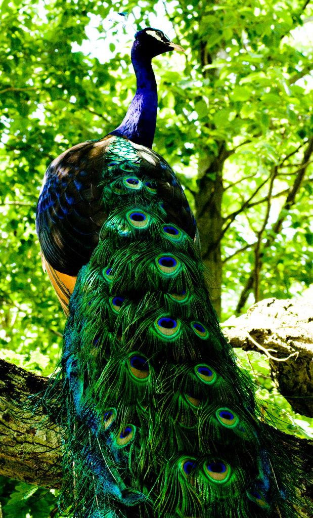 The male Indian Peafowl